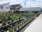 apprendre le bonsai au japon - pépinière