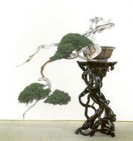 bonsai masterpiece shimpaku 1