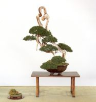 bonsai masterpiece shimpaku 4