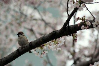 cerisiers en fleur au Japon hanami - 08
