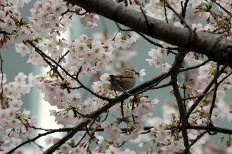 cerisiers en fleur au Japon hanami - 11