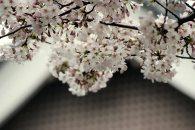 cerisiers en fleur au Japon hanami - 18