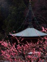cerisiers en fleur au Japon hanami - 22