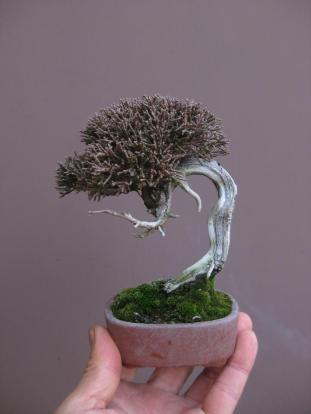 mame 10 shimpaku juniperus