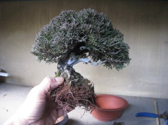 mame 30 shimpaku juniperus rempotage