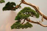 EBA2013 nicola crivelli - juniperus chinensis 04