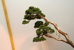 EBA2013 nicola crivelli - juniperus chinensis 10