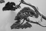 EBA2013 nicola crivelli - juniperus chinensis 19