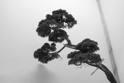 EBA2013 nicola crivelli - juniperus chinensis 26