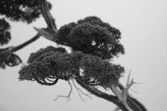 EBA2013 nicola crivelli - juniperus chinensis 27