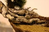 pinus uncinata - oscar roncari - 03