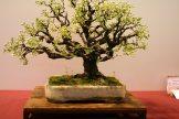 prunus mahaleb - oscar roncari - 08