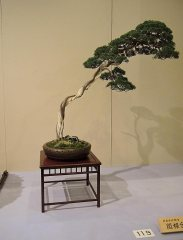 Juniperus chinensis