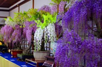 glycines bonsai exposition