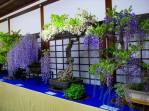 glycines bonsai japon