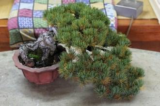 pin blanc han-kengai avant nettoyage
