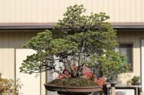 pin blanc kyuka-en
