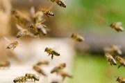 KENYA : attaqué par des abeilles, un voleur se rend à la police