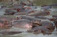 NIGER : près de 27 hippopotames abattus en cinq mois dans l'Ouest