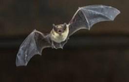 REGION DE L'EST: le gouverneur interdit la manipulation et la consommation des chauves-souris