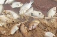COMMUNE DE SEGUENEGA: des centaines de poissons en putréfaction au barrage de Guitti
