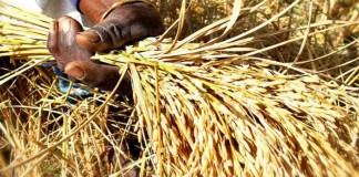 Sédhiou, riz paddy
