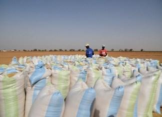 Importantes quantités de riz local
