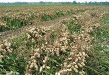 Les défis pour le décollage de la filière arachide au Sénégal