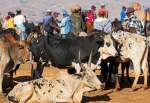 La technologie nucléaire pour améliorer la reproduction des bovidés