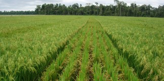 Un financement de la BID pour la filière riz au Sénégal