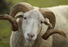 Des moutons inscrits à l'école