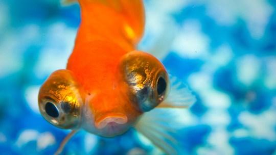 Cuidados básicos del pez Bailarina