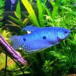 Trichogaster trichopterus o gourami azul