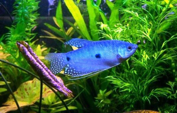 Te presento al gourami o gurami un pez muy fuerte y hermoso