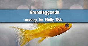 Grunnleggende omsorg for Molly fisk.