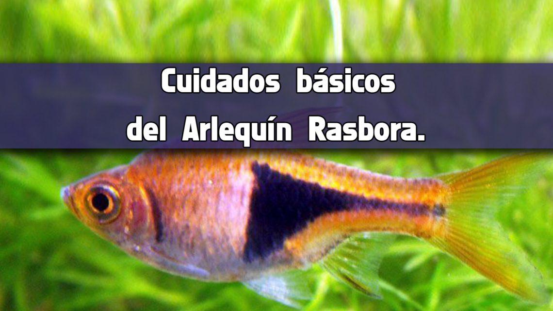 Cuidados básicos del pez Arlequín Rasbora.