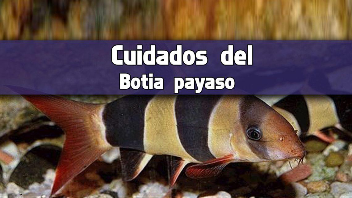 Cuidados basicos del pez Botia payaso.