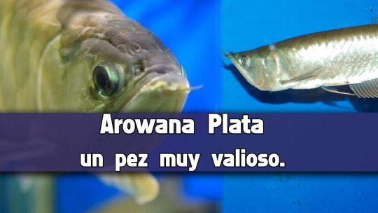 3 datos para criar el Arowana Plata.