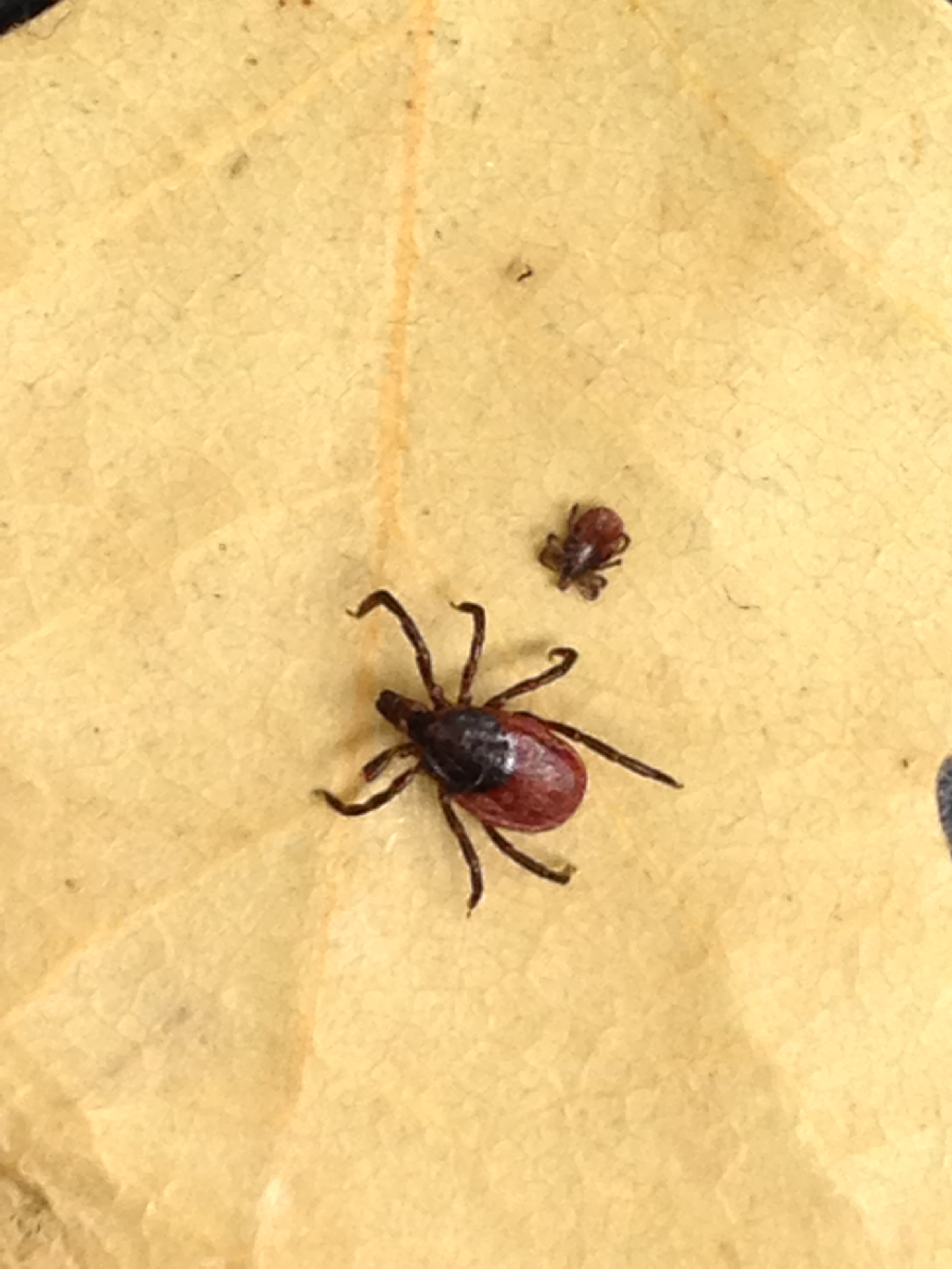 Common Ticks in Alameda County  Vector Control Services