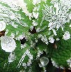 079-dew-frost-wp