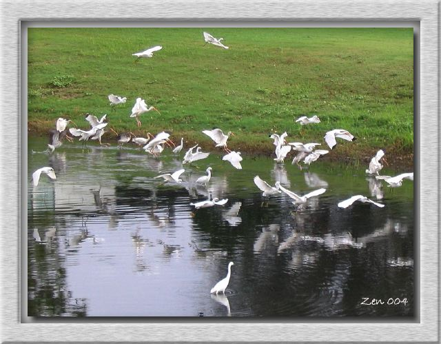 Snowies and Ibis Feathers