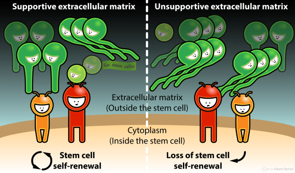 Extracellular Protein Networks Control Fate Of Stem