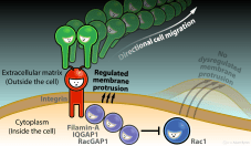 Rac1 deactivation at active integrins // Image by Adam Byron