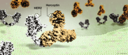 Herceptin drug binding to HER2 protein on breast cancer cells // Image by Adam Byron