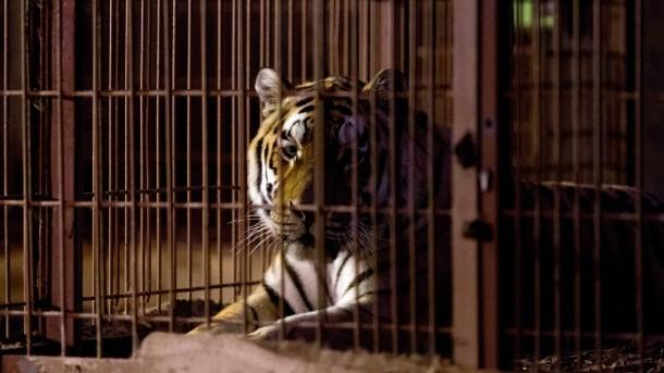 tiger-rasputin-nach-dem