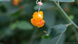 High Cliff State Park - Impatiens capensis wildflowers