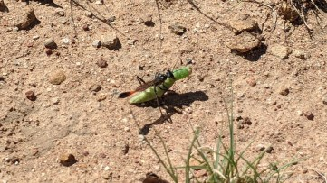 New Mexico Elk Hunt – Common Thread Waisted Wasp taking a caterpillar