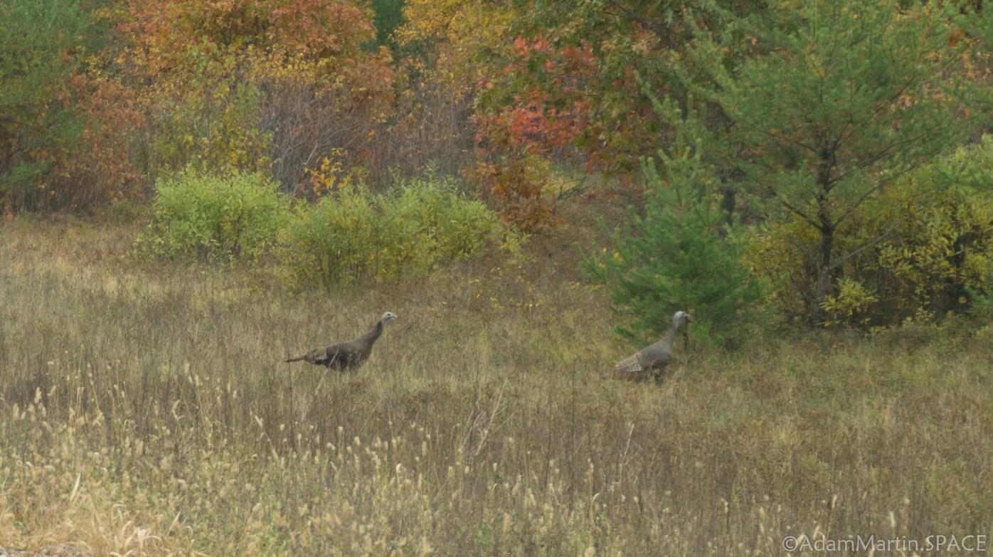 Big Bull Falls - Wild Turkeys Everywhere