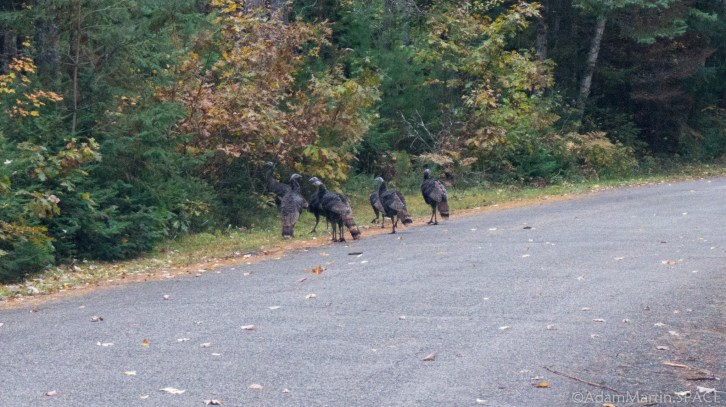 Veterans Memorial Park - Wild Turkeys on Road