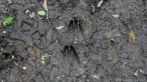 Richard Bong State Recreation Area - Large deer tracks in mud